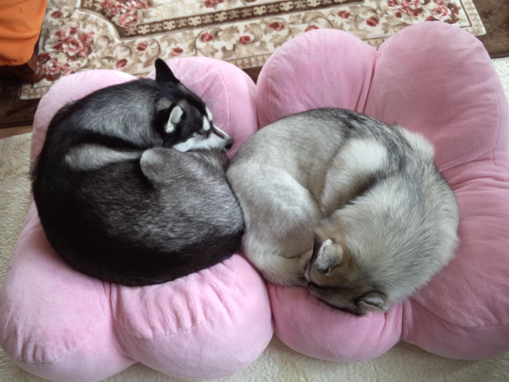 丸まって眠るシベリアンハスキー