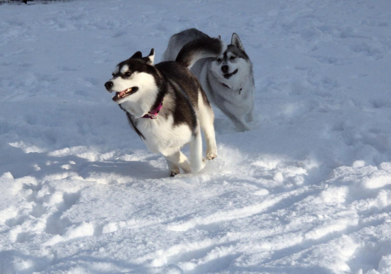 シベリアンハスキーの運動能力